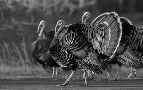 Jim Chapman Talks Turkey Hunting In California As A Destination for Airgun Hunters.