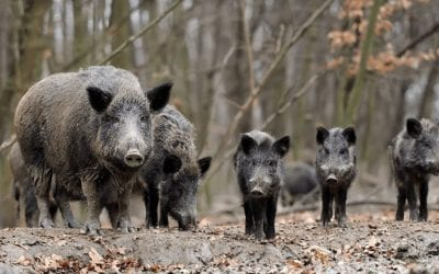 The Dangers Of Hog Hunting – With Kevin Reese