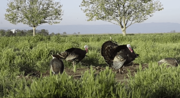AIRGUN TURKEY Hunting, Cleaning, and Cooking