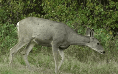 Big Bore Air Gun Hunting for Trophy Whitetails Part 2