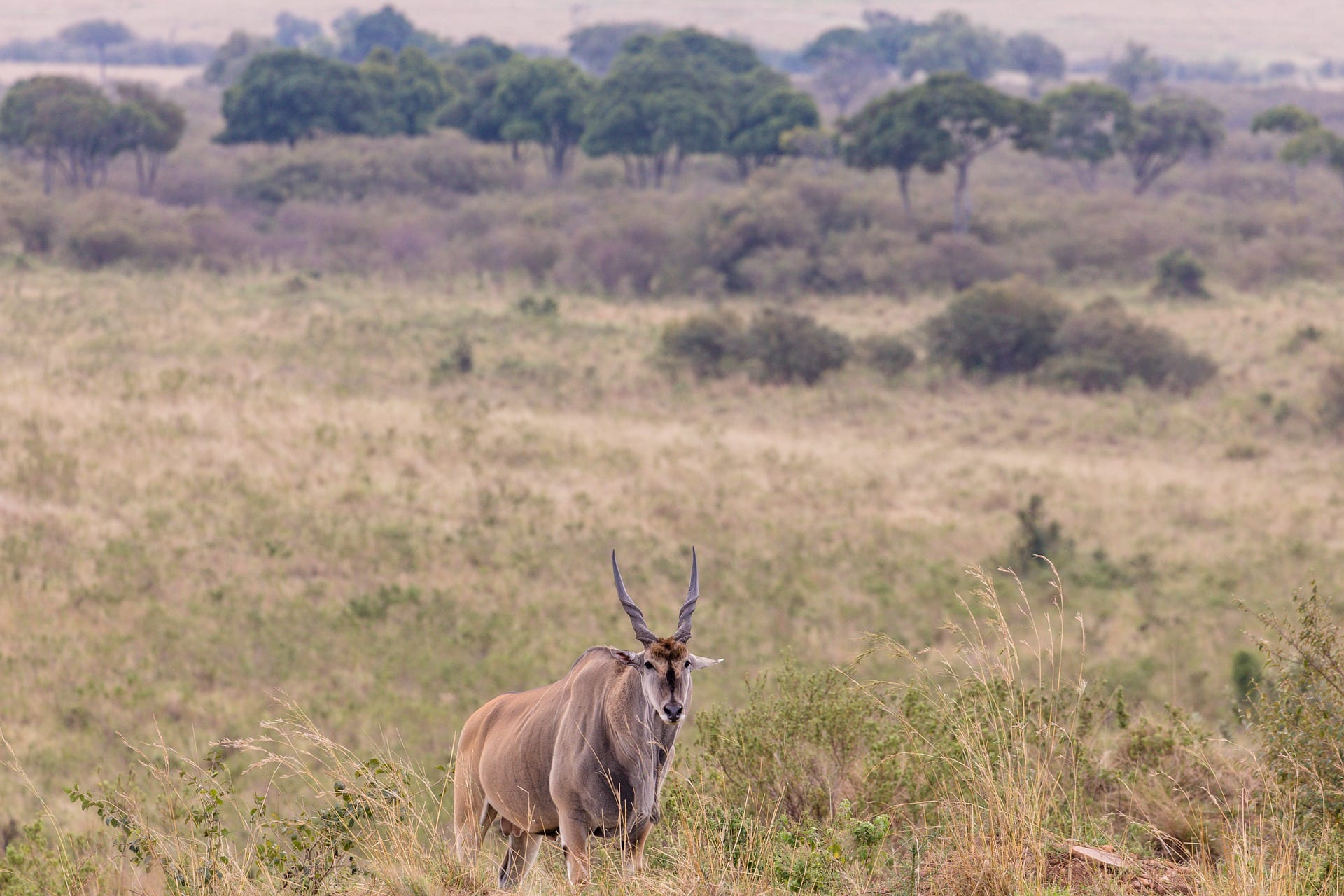 An Eland stands in a field in Africa