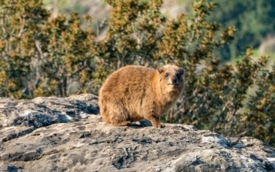 Hunting Porcupine and Hyrax with Airguns
