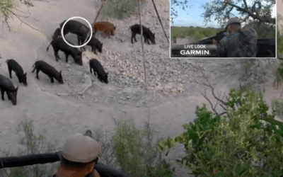 Using The Umarex AirSaber for Hog Hunting